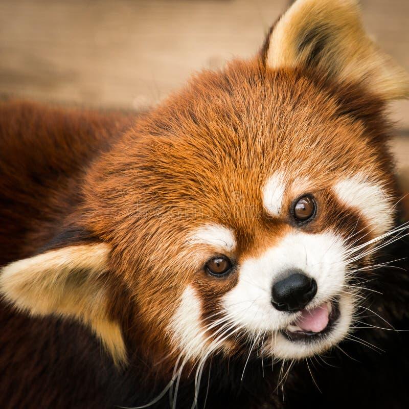 Roter Panda III lizenzfreie stockfotografie