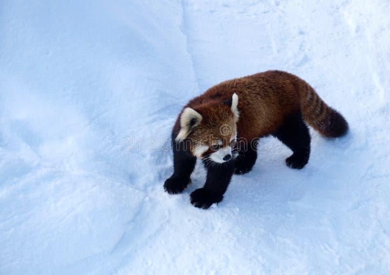Roter Panda im Schnee, Zoo Sapporos Maruyama, Hokkaido Japan lizenzfreies stockfoto