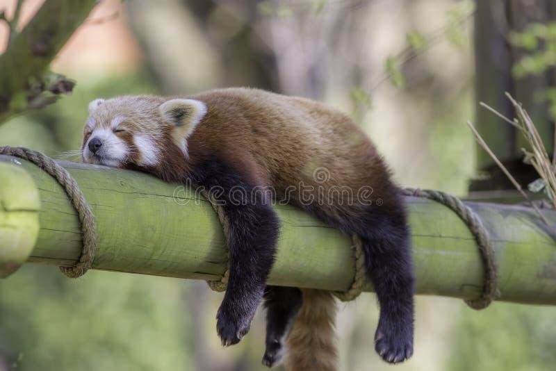 Roter Panda Schlafens Lustiges nettes Tierbild lizenzfreie stockfotografie
