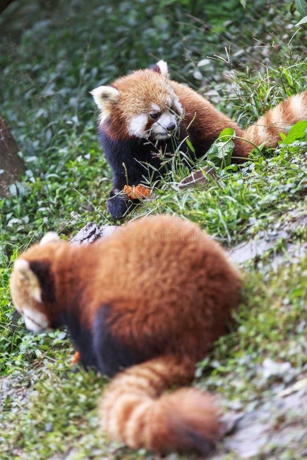Roter Panda am Zoo in Chengdu, China stockfotos