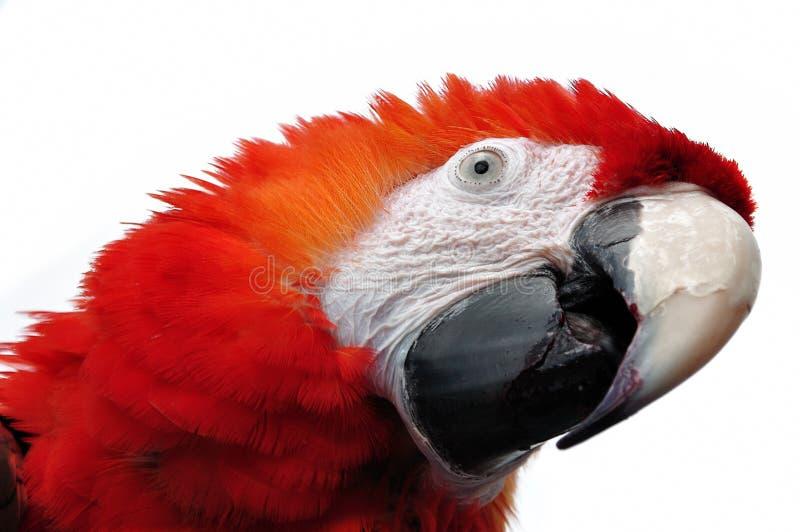 Roter Papagei lizenzfreie stockfotos