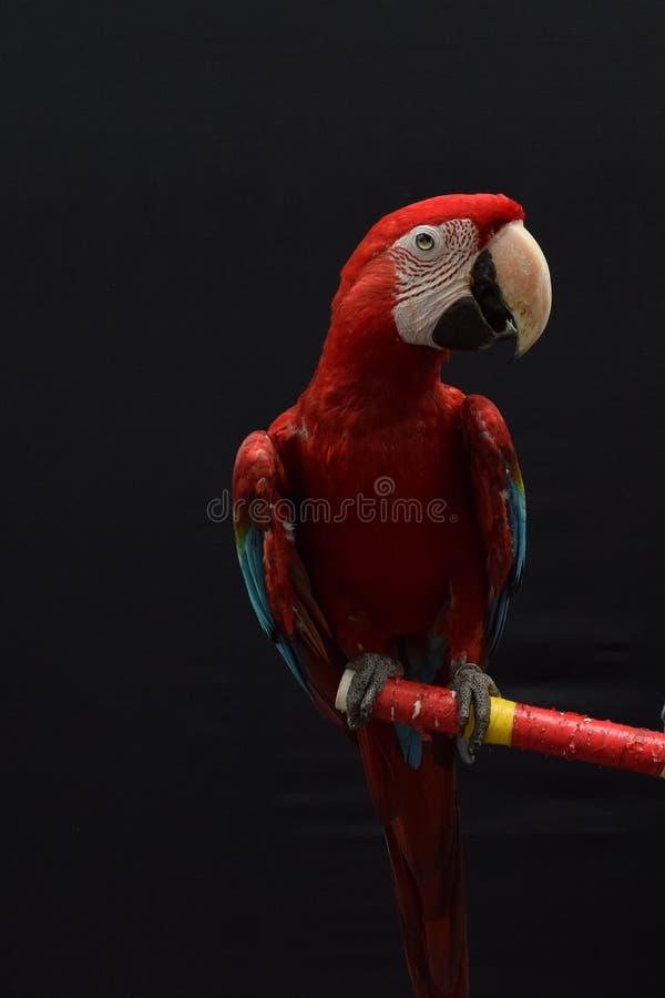 Roter Papagei, der auf Holz steht lizenzfreies stockbild