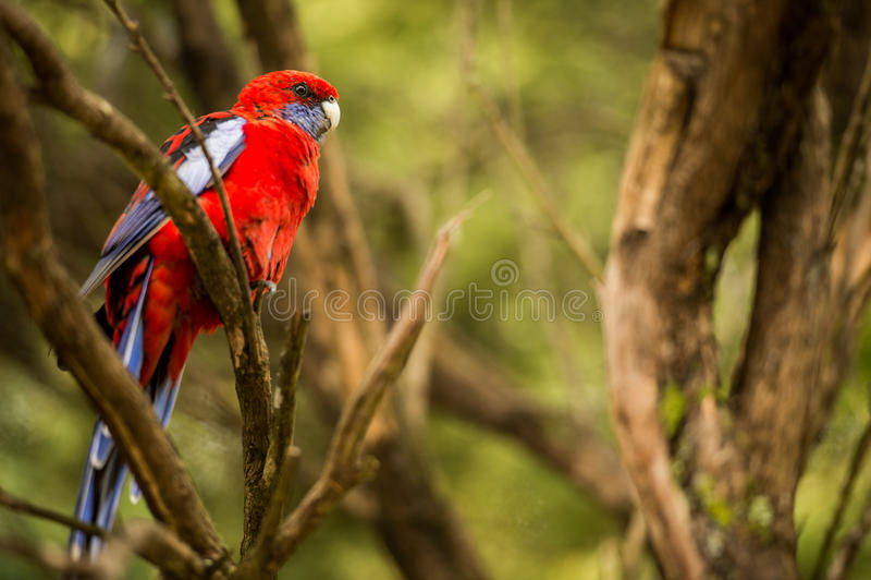 Roter Papagei, der auf Niederlassung sitzt lizenzfreie stockfotos