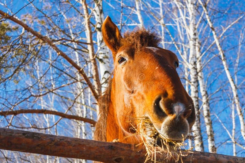 Roter Pferdekopf, der Heu an einem sonnigen Tag isst stockfotografie