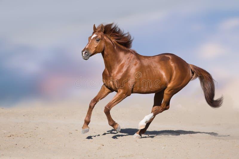 Roter Pferdenlack-läufer stockfotos