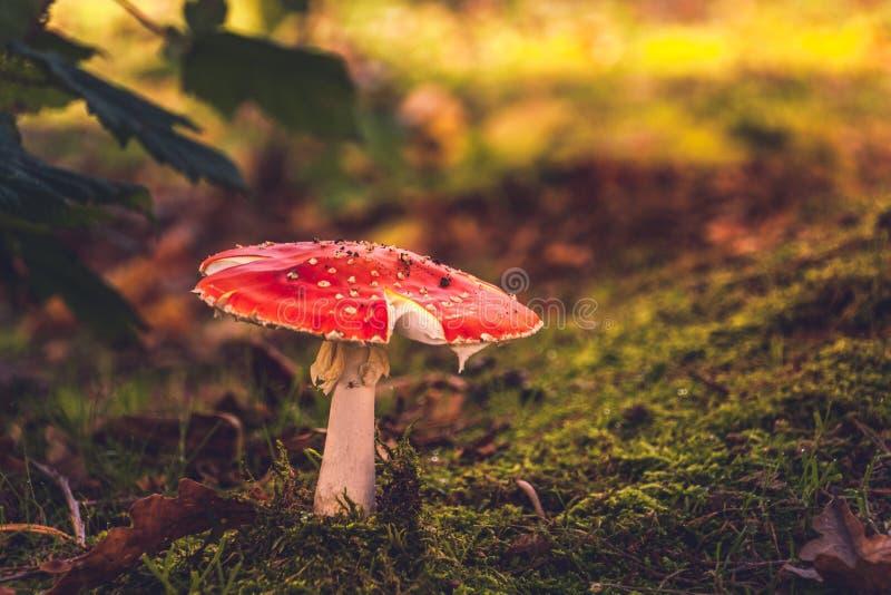 Roter Pilz stockfotos