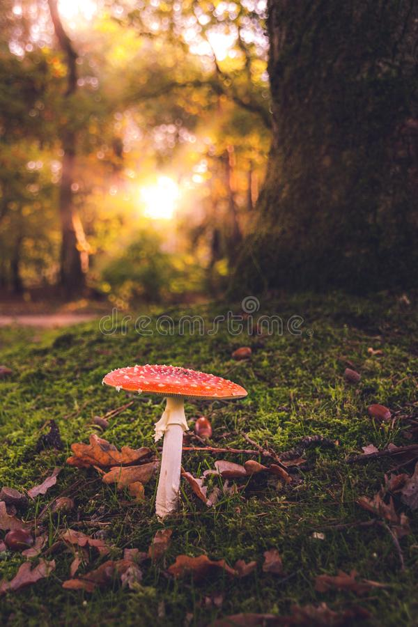 Roter Pilz bei Sonnenaufgang im Wald stockfoto