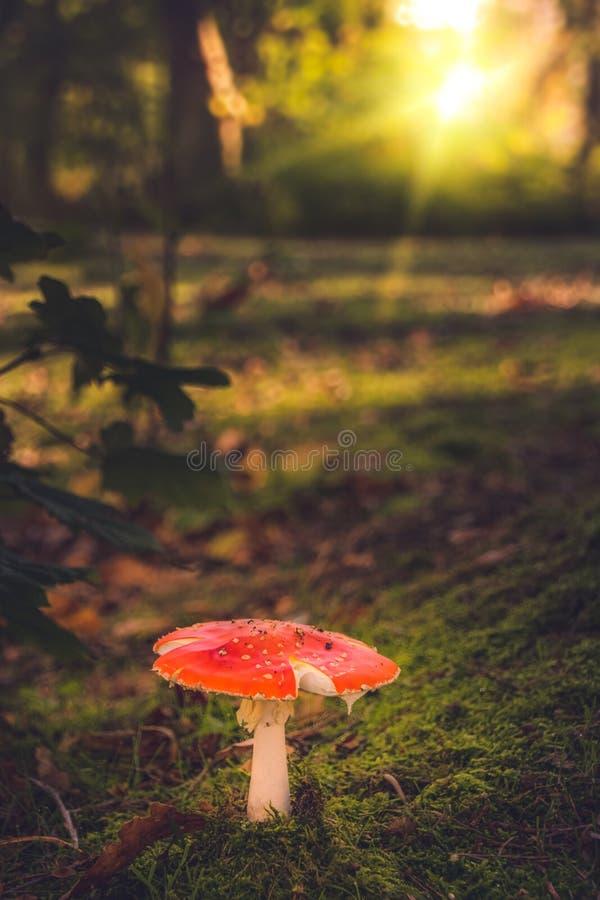Roter Pilz im Wald lizenzfreie stockfotografie
