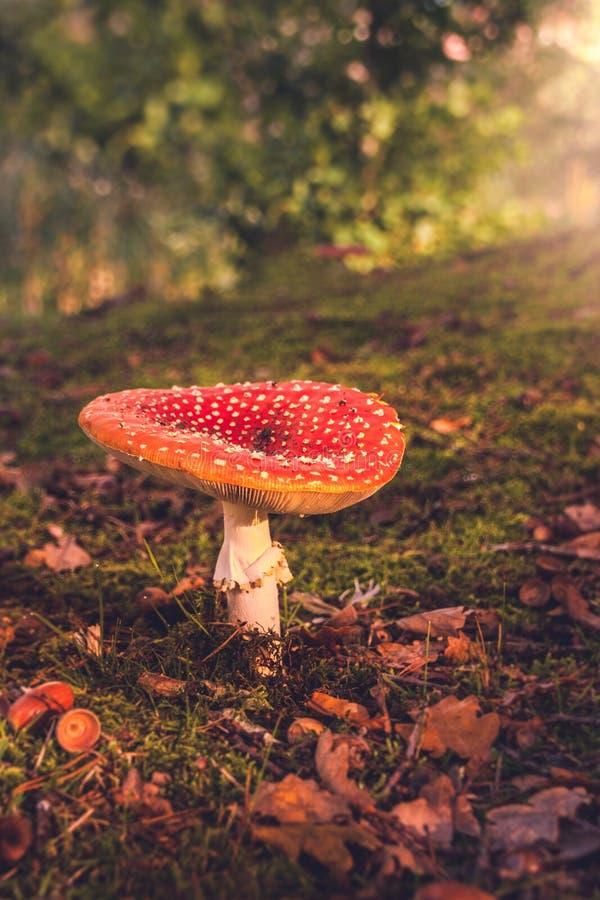 Roter Pilz im Wald stockbild