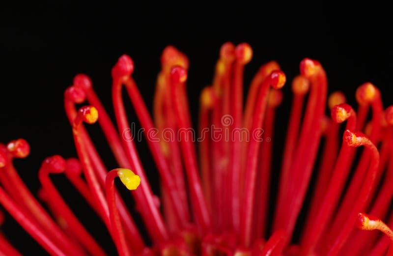 Roter Protea stockbilder