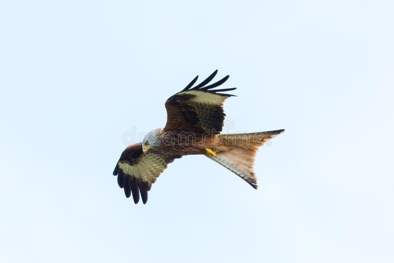 Roter Raubvogel milvus milvus Drachen des ausführlichen Ansichtfliegens, verbreitete Flügel stockbilder