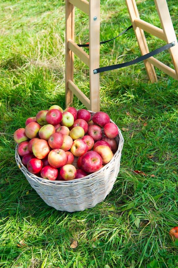 Roter reifer Fruchtkorb der Äpfel auf Gras nahe Leiter Apple ernten Konzept Reife organische Früchte im Garten Herbst lizenzfreies stockfoto