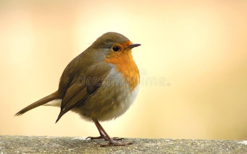 Roter Robin lizenzfreie stockfotografie
