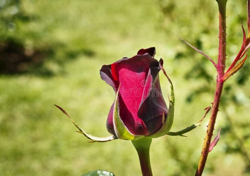 Roter Rosebud stockfoto