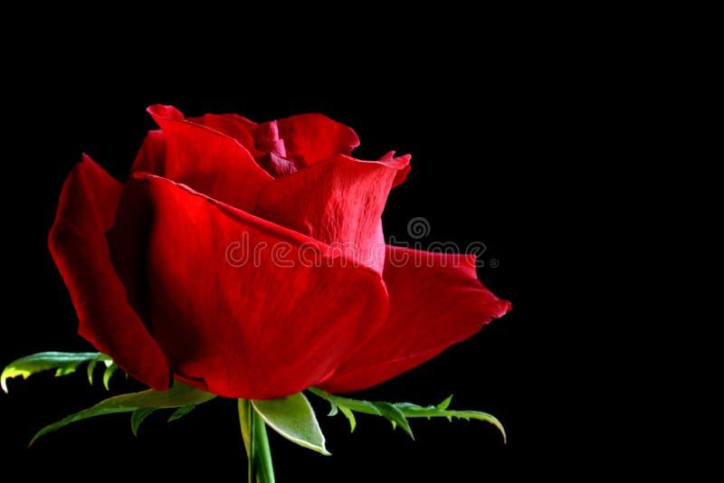 Roter Rosebud stockbild