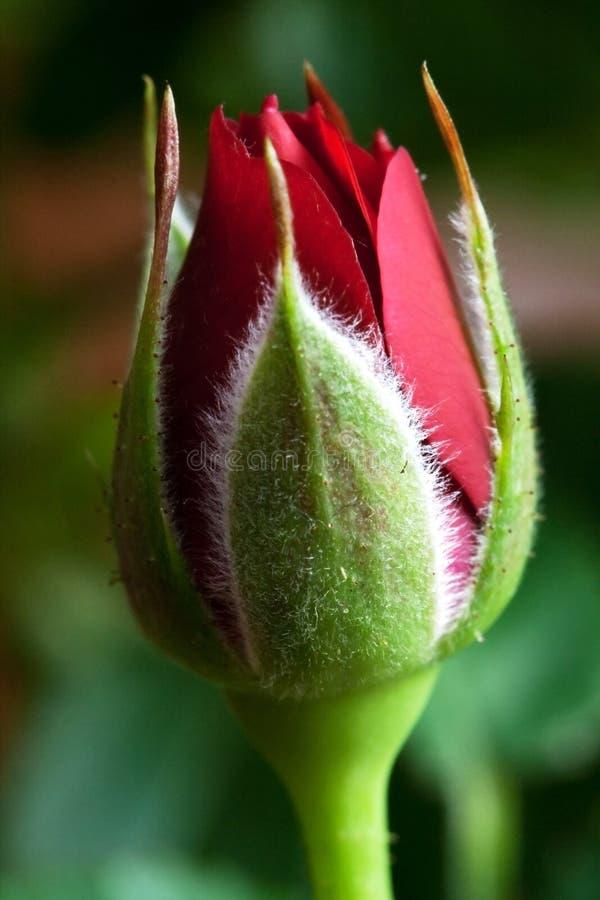 Roter Rosebud lizenzfreie stockfotos