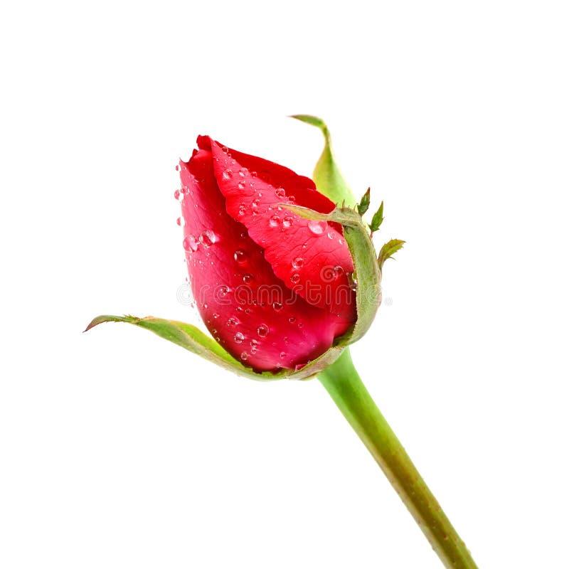 Roter Rosebud Rose stockbilder