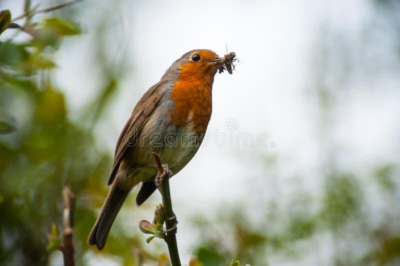 Roter Rotkehlchenvogel, der ein Insekt isst stockfotografie