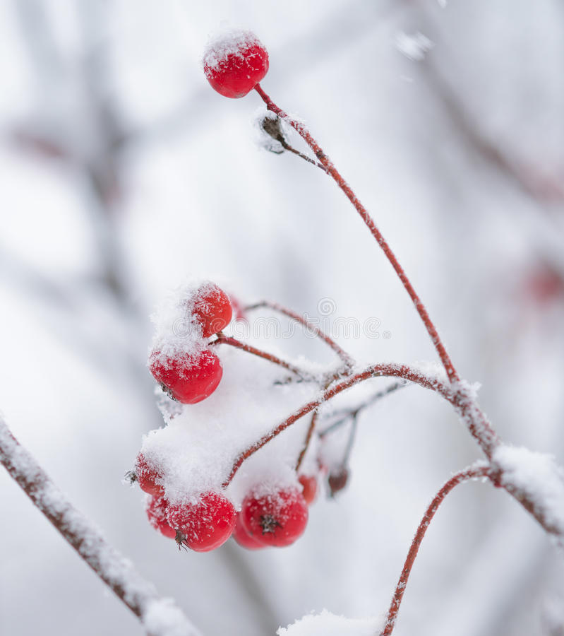 Roter Rowan Berries Covered With Fresh-Schnee lizenzfreie stockfotos