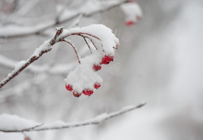 Roter Rowan Berries Covered With Fresh-Schnee stockfotos
