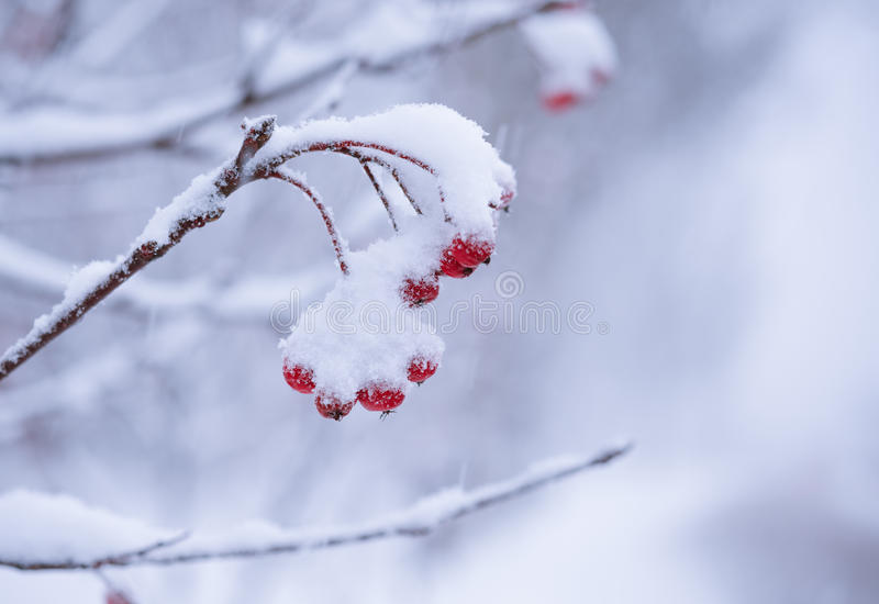 Roter Rowan Berries Covered With Fresh-Schnee stockfotografie