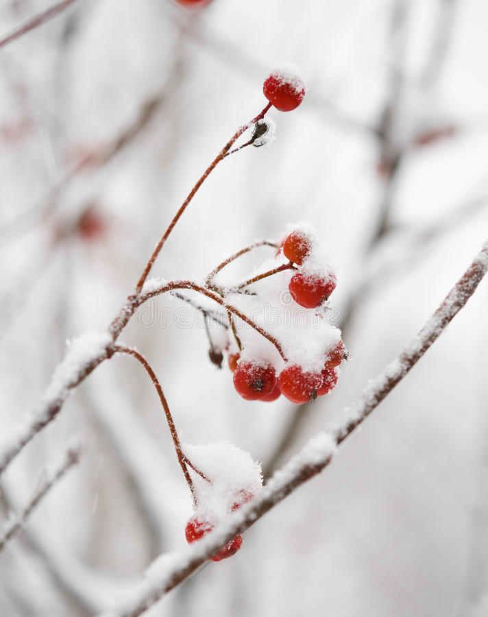 Roter Rowan Berries Covered With Fresh-Schnee stockbild