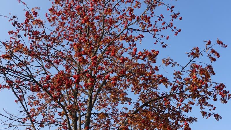 Roter Rowan Tree stockfoto