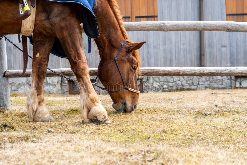 Roter schöner Pferdeportrait des Essens des Grases stockfoto