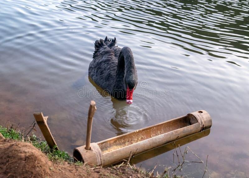 Roter Schnabel des schwarzen Schwans, der Lebensmittel in der Rutsche isst stockbild