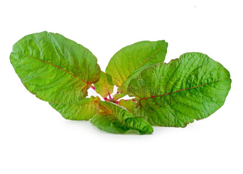 Roter Spinat lokalisiert auf dem weißen Hintergrund stockfoto