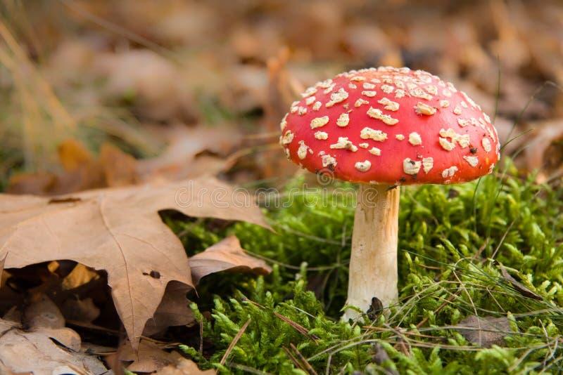 Roter Toadstool im Herbstwald lizenzfreie stockfotografie