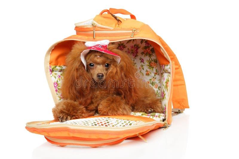 Roter Toy Poodle in der modernen Hundetragetasche stockfoto