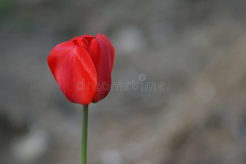 Roter Tulpe-Hintergrund lizenzfreies stockfoto
