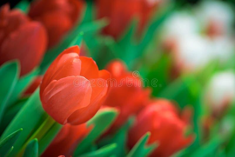 Roter Tulpe-Hintergrund stockfoto