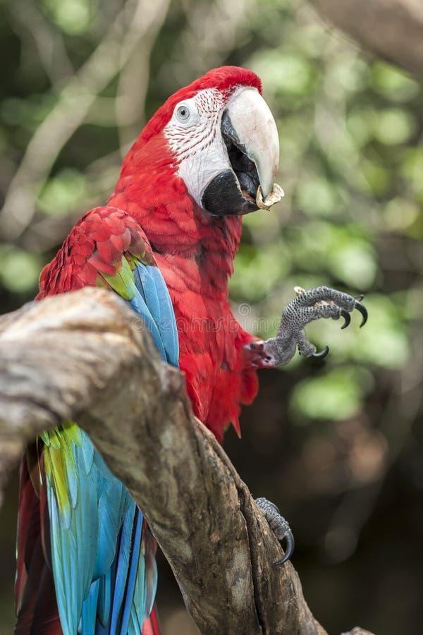 Roter und blauer Papagei, der auf Niederlassung sitzt stockfotos
