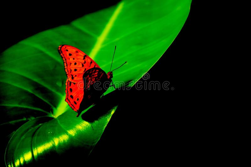 Roter und schwarzer Schmetterling auf einem hellgrünen Blatthintergrund lizenzfreie stockfotos