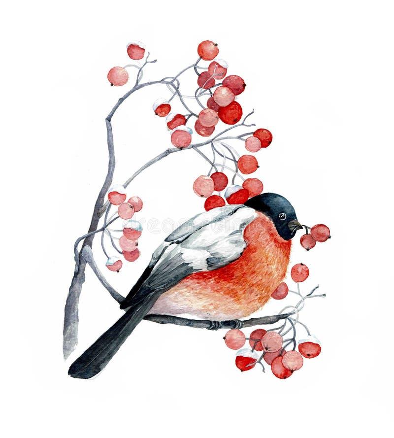 Roter Vogel auf der wilden Aschniederlassung mit roten Beeren lizenzfreie abbildung