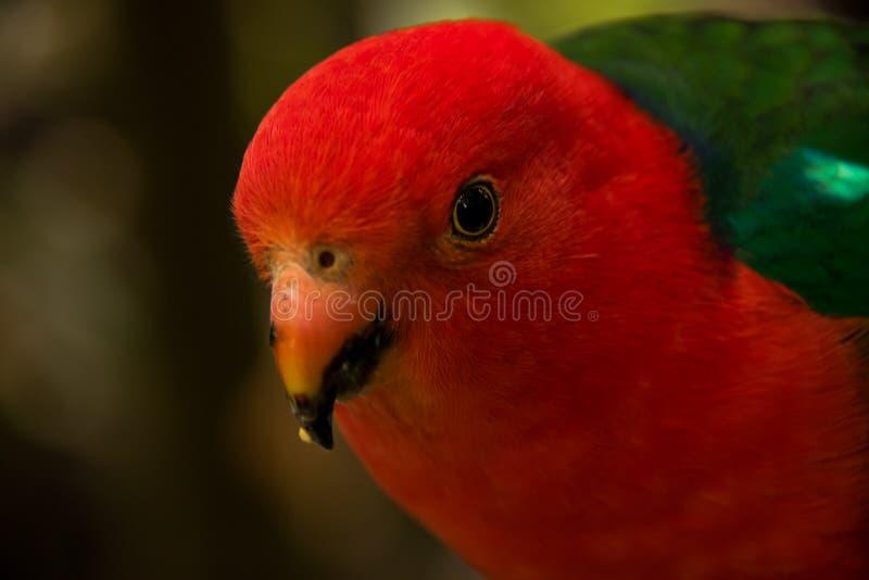 Roter vorangegangener Papagei stockbild