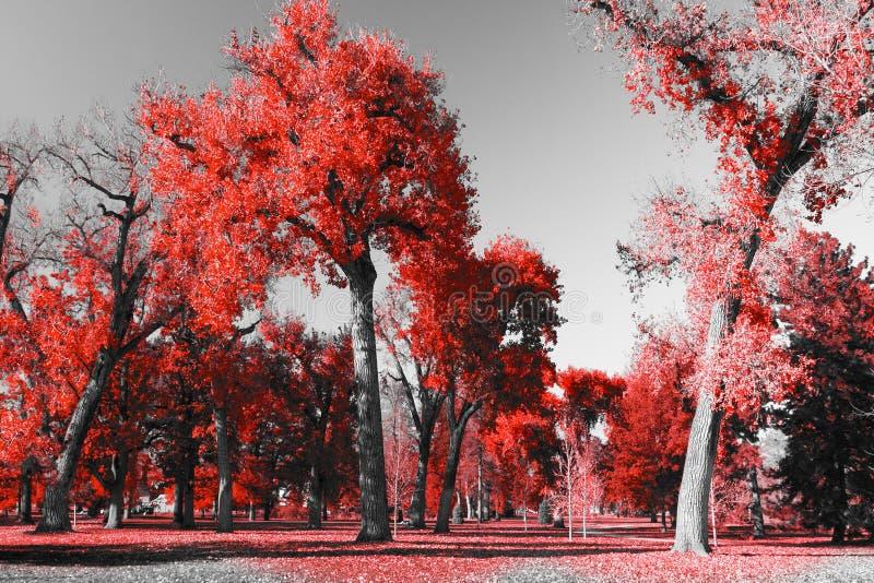 Roter Wald in der Schwarzweiss-Landschaft stockfoto