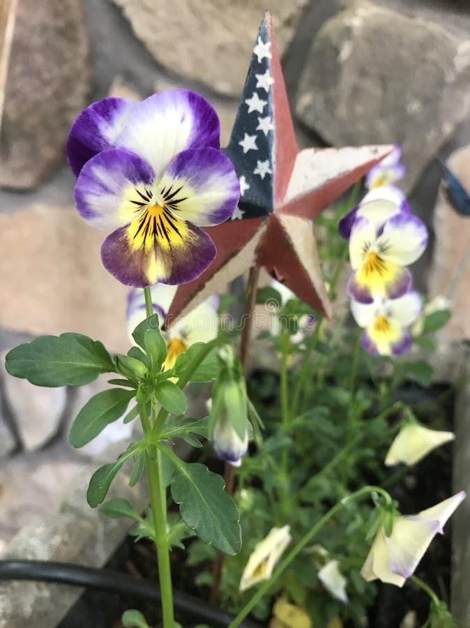 Roter weißer und blauer Stern mit Pansies stockfoto