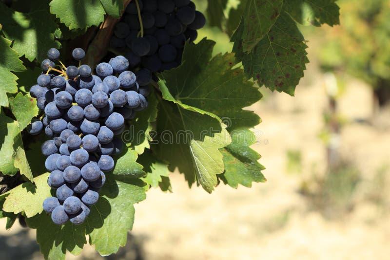 Roter Weinrebeweinberg Frankreich stockfoto