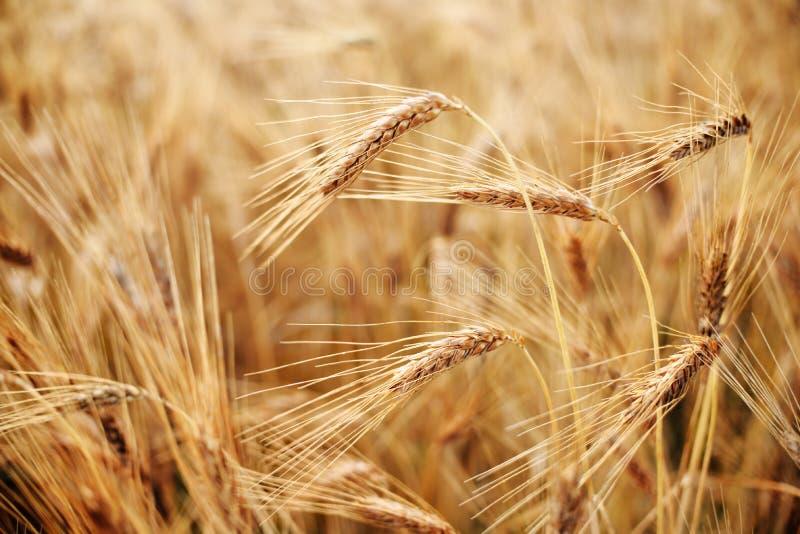 Roter Weizen stockfotografie