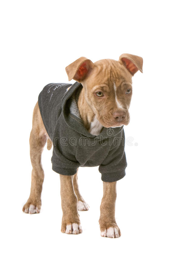 Roter Wekzeugspritze pitbull Welpe lizenzfreies stockbild