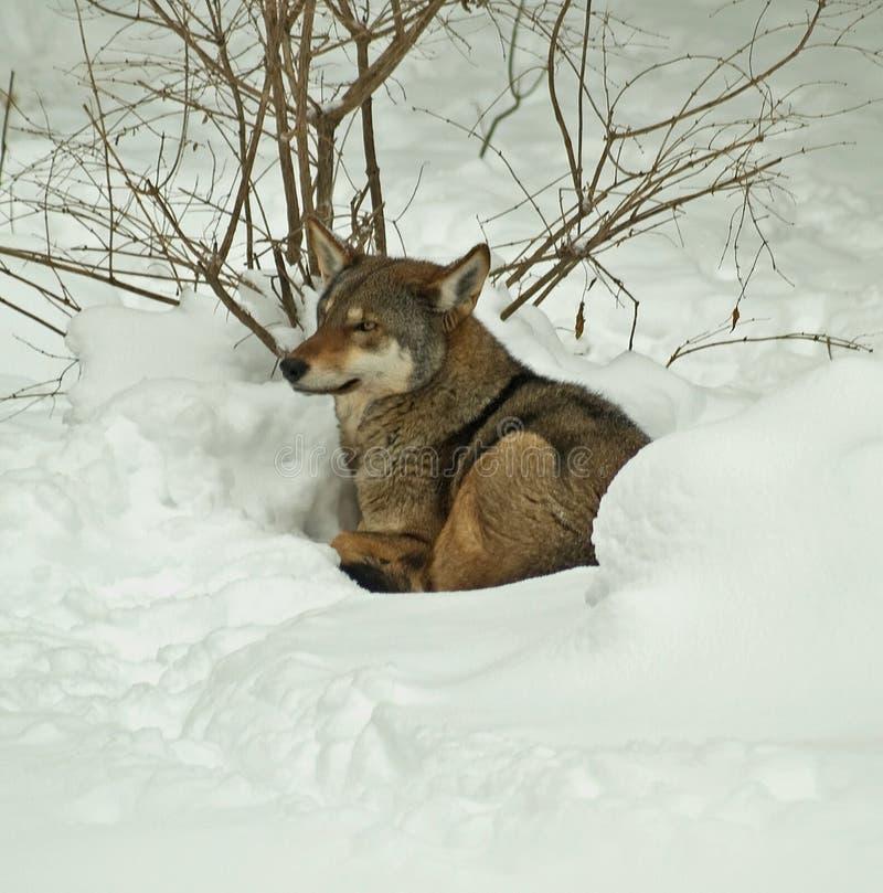 Roter Wolf im Schnee stockfotos