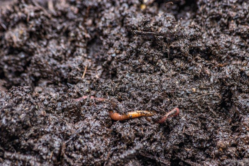 Roter Wurm auf dunklem Erdstapel lizenzfreie stockfotos