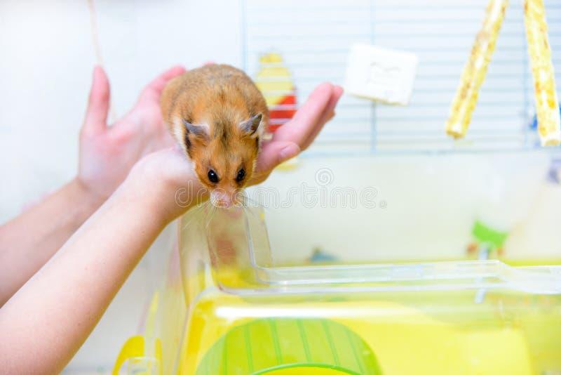 Roter zahmer Hamster in den Händen des Kindes lizenzfreie stockbilder
