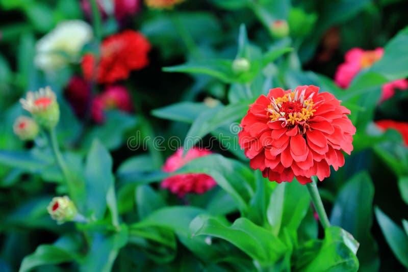 Roter Zinnia blüht auf einem Hintergrund von grünen Blumenbeeten stockbilder