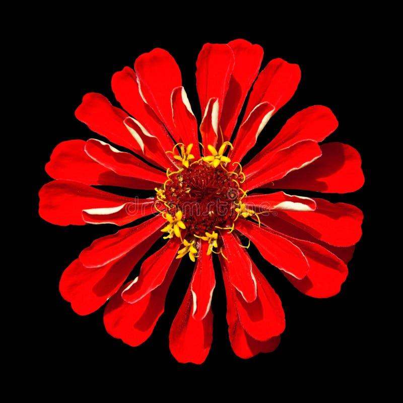 Roter Zinnia Elegans getrennt auf schwarzem Hintergrund lizenzfreie stockfotografie