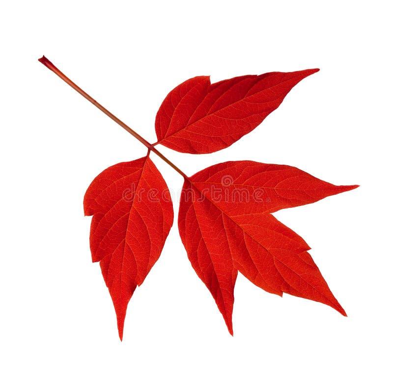 Rotes Acer negundo Blatt lokalisiert auf Weiß stockfotos