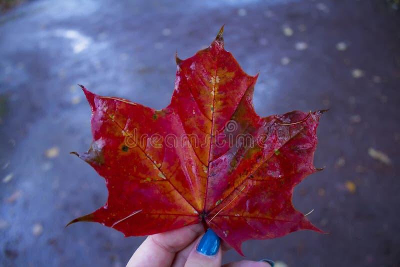 Rotes Ahornholz stockfotos